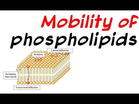 Mobility of phospholipid