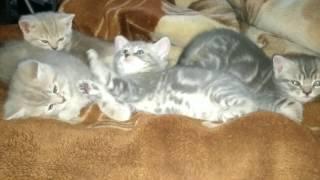 Умилительное видео! Милые котята лежат на кровати! Они пока ещё маленькие крохи, но такие очаровашки!
