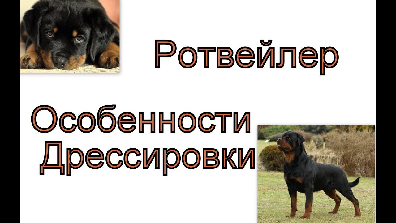 Смотреть онлайн: Особенности дрессировки ротвейлера Важные моменты дрессировки щенка ротвейлера