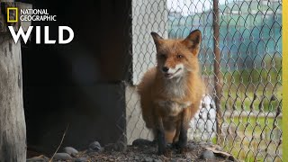 Meet Foxes Jade and Storm | Alaska Animal Rescue by Nat Geo WILD
