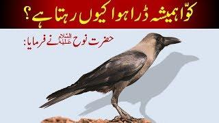 Kawa Hamesha Dara Huwa Kiyn Rehta hai || Noah AS says || Crow Story || कौआ || کوا