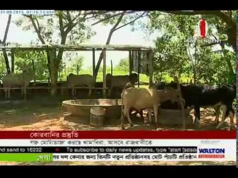Cattle fattening ahead of Eid (31-08-2015)
