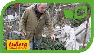 Rhododendron - Frostschutz im Winter und Vorfrühling