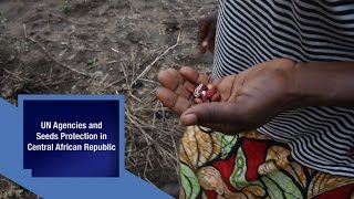 UN Agencies and the Seed Protection initiative in C.A.R.