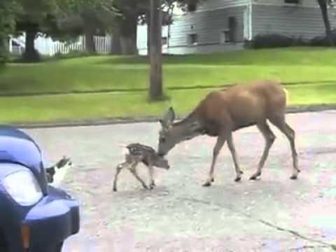 Yavrusuna Yaklastırmayan Ceylan