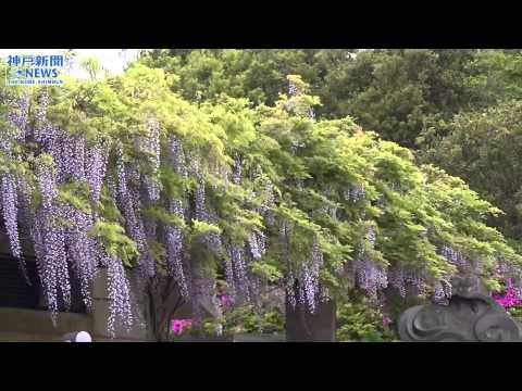潮風に揺れる紫の花房 道の駅「うずしお」