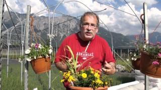#407 Der gelbe Sonnenkübel (Strohblume, Husarenköpfchen, Margerite)