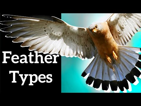 Types of Bird Feathers - Use Shape to Identify Feathers