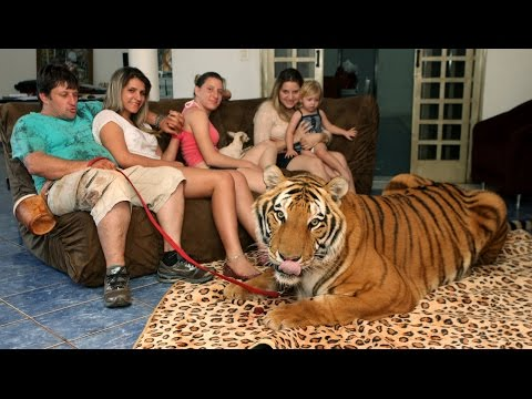 Tiger Living With A Family!!