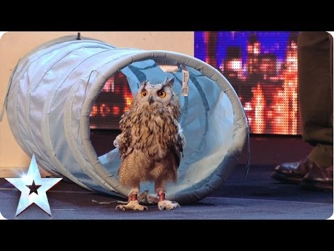 owl - Disobedient owl Rocky has trainer Andrew in a flap when he refuses to do as he's told in his audition. See the stubborn bird finally perform, much to the Jud...