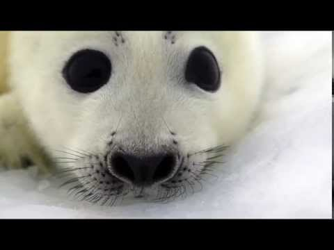 Baby Seals on the ice pack of the White Sea