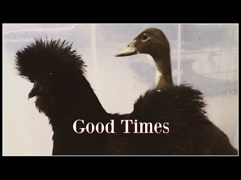 Video Good Times! Mama Silkie & Her Baby Duck~ download in MP3, 3GP, MP4, WEBM, AVI, FLV January 2017