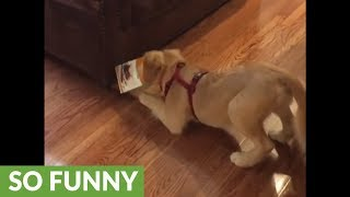 Puppy gets head stuck in box twice