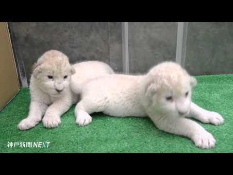 ホワイトライオンの赤ちゃん