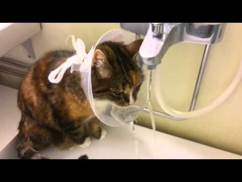 Smart Cat is Drinking Water While Wearing a Protective