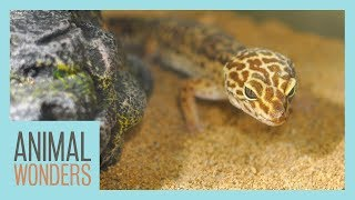 Is Sand Bad for Leopard Geckos? by Animal Wonders