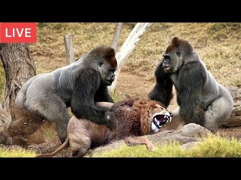 LIVE : Gorilla Attack Lion Save Team | Moments Of Animal Fight Battle - Wild Animal Planet 2018 (видео)