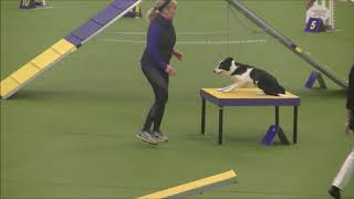 Masters Agility Championship at Westminster dog show 2019