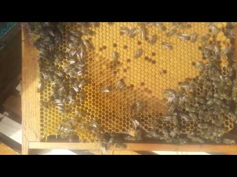 Семьи готовы в бой на акацию)... Расширение пчелиного гнезда.