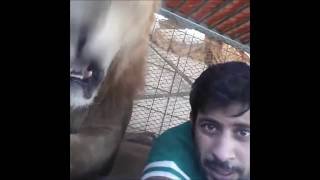 Video Dubai Prince playing with his pet lions. Friends vitaly get chased and ass bitten by his lions!! MP3, 3GP, MP4, WEBM, AVI, FLV Juni 2017