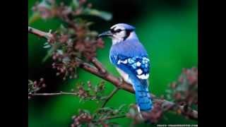 Kuş Sesleri Dinle