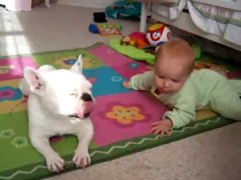 Bulldog Francés enseña a bebe a gatear