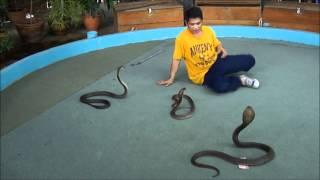 Cobra Show Phuket Thailand