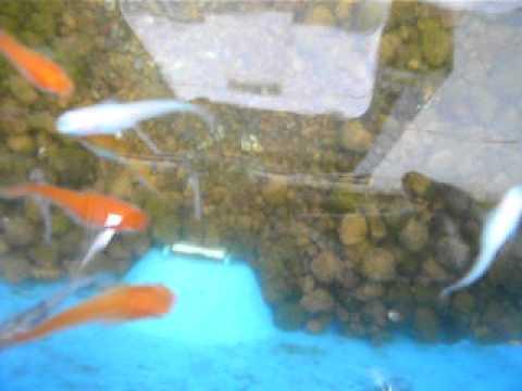 錦鯉のような綺麗な3色透明鱗めだかの子と3色ブチメダカ