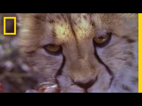 Cheetahs - The cheetah is the world's fastest land animal, able to reach 45 miles per hour in 2.5 seconds. Here's a snapshot of their speed, hunting strategy, and statu...