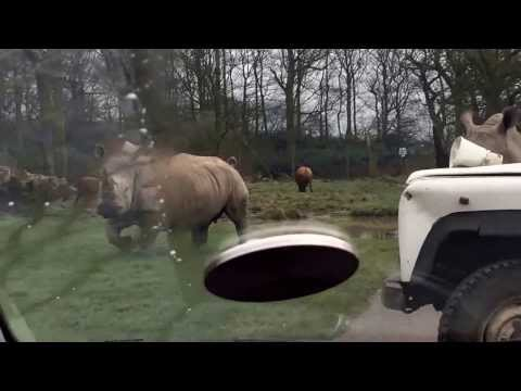 Knowsley Safari Park - Rhinos Running Towards Car, Thankfully The Zoo Keeper Was There Lol