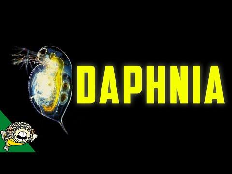 Daphnia Culturing – Water fleas – Live Fish Food