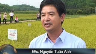 Giống Lúa Lai Nam ưu 603 Trên đất Yên Thế - Bắc Giang Chiếm được ưu Thế Cảm Tình Của Nông Dân