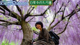 台湾人と九尺藤