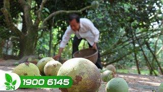 Trồng trọt | Khắc phục cây bưởi bị nấm gây hại