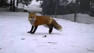 Qu'a vu ce renard?