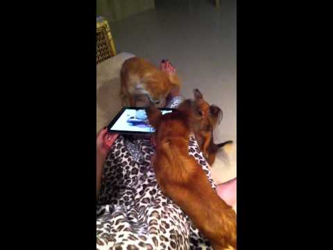 Chihuahuas' reaction to AMAZING BIRTH – Toy Chihuahua (Teac