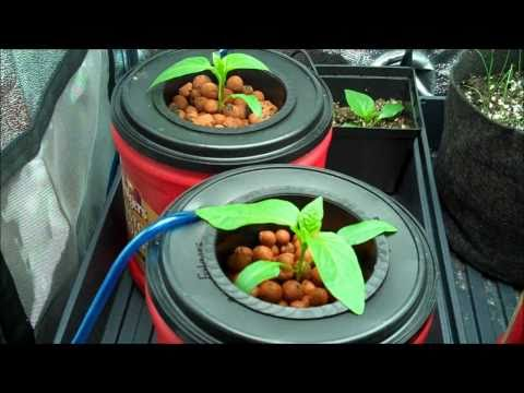 Hydroponic Pepper Experiment And Tomato DIY