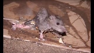 Video Les rats sont entrés dans Paris ! MP3, 3GP, MP4, WEBM, AVI, FLV November 2017