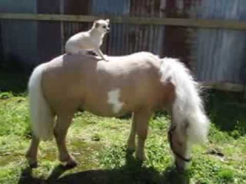 Miniature Horse takes Chihuahua for a ride