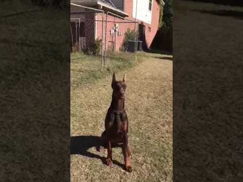 Nivana top European Doberman