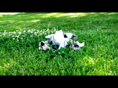 Playful Border Collie Puppies