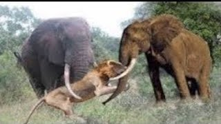 Video Elephant Chasing Lion vs Wild Dogs MP3, 3GP, MP4, WEBM, AVI, FLV Oktober 2018