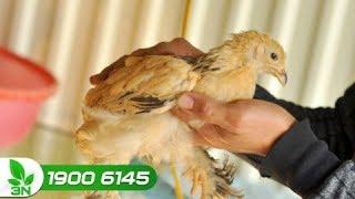 Chăn nuôi gà   Trị bệnh ORT cho gà: Người nuôi đã dùng đúng phác đồ?