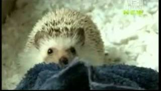 Pets 101 Hedgehogs