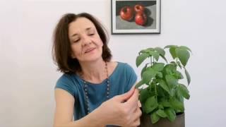 BOSILJAK / TULASI, sveta biljka