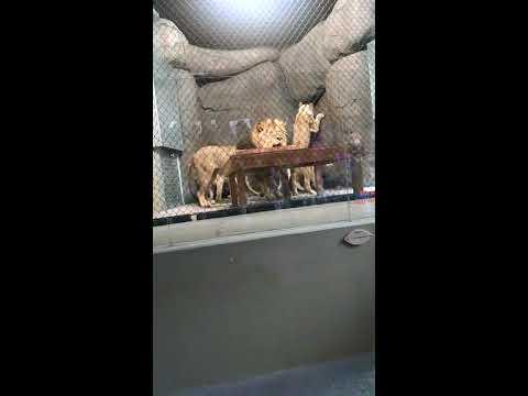 雄獅在眾人面前威風出場 下一秒卻顏面盡失 畫面有點好笑啊XD