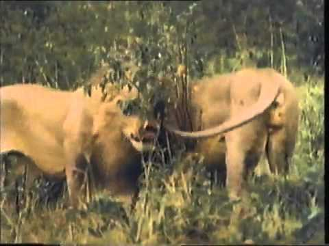 La vida de los leones en Africa