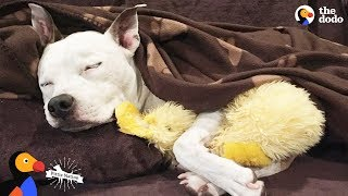 Pit Bull Dog's Mom Has The Best Reaction To Discrimination | The Dodo by The Dodo