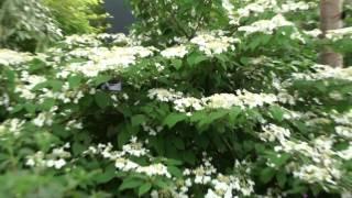 #727 Chelsea Flower Show 2012 - Viburnum plicatum mariesii - Etagen-Schneeball