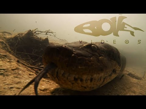 Diving with a Giant Anaconda in Brazil